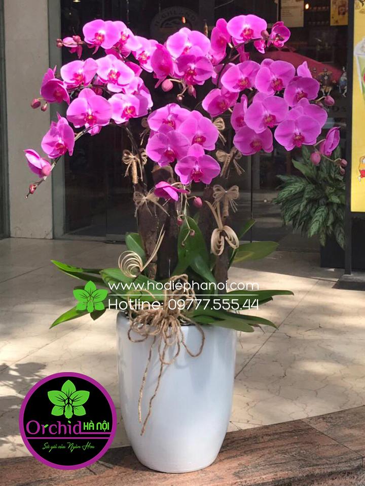 Chậu hoa lan tím được trang trí 8 cành lan hồ điệp vô cùng đẹp mắt